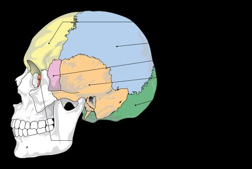 500px-cranial_bones_en-svg